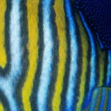 Regal Angelfish Texture
