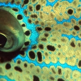 Scrawled Filefish's Eye