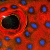 Grouper Eye