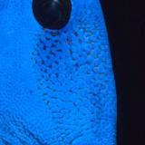Surgeonfish Face Closeup