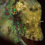 Wrasse's Face