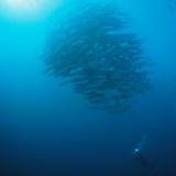 Diver & Baracudas Schooling