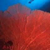 Seafan & Diver