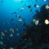 Schooling Pyramid Butterflyfish