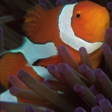Anemonefish False Clown