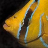 Butterflyfish Bennetti