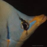 Butterflyfish Saddled (Chaetodon Ephippium)