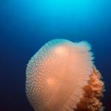 Jellyfish Cnidaria