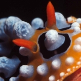 Nudibranch Phyllidia Ocellata