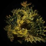 Rhinopias Scorpianfish