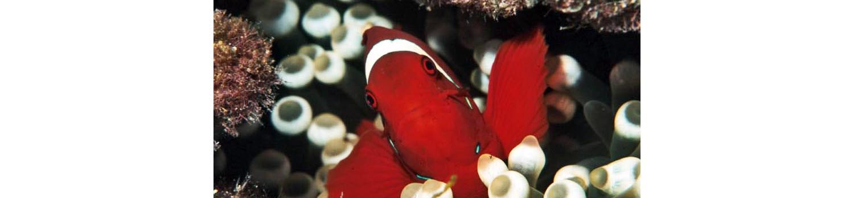 adamaqua.com anemone fish spinecheek