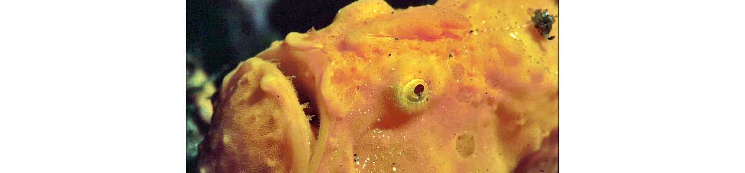 adamaqua.com frogfish orange