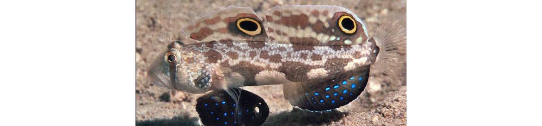 adamaqua.com goby crab eye signiobius biocellatus