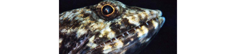 adamaqua.com lizardfish synodus sp