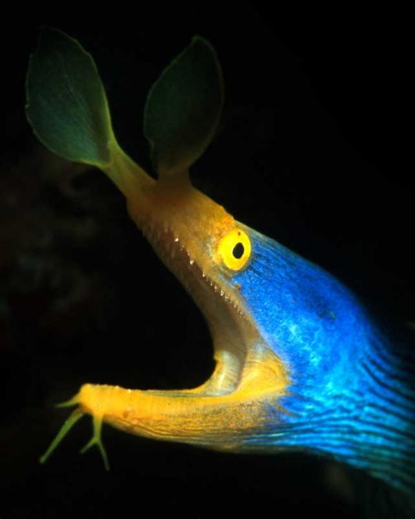Blue Ribon Eel adamaqua.com